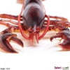 Safari Ltd 281629 Homar 23,2x17x4,5cm  skala 1:2,3