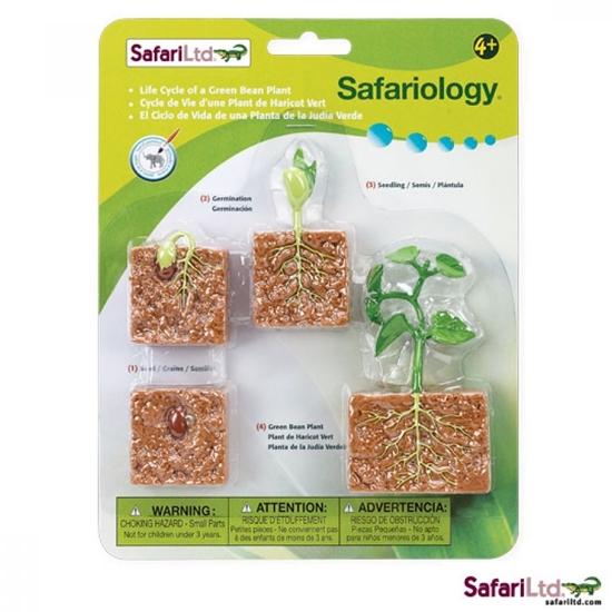 Safari Ltd 662416 Cykl rozwojowy fasoli 18x23 na blistrze