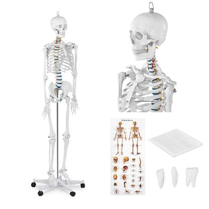 Model anatomiczny szkieletu człowieka 176 cm + Plakat anatomiczny