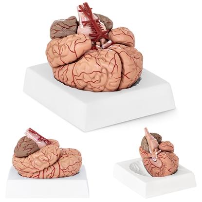Model anatomiczny ludzkiego mózgu 9 elementów w skali 1:1