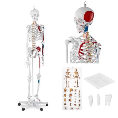 Model anatomiczny ludzkiego szkieletu 180 cm + Plakat anatomiczny