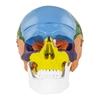 Model anatomiczny czaszki człowieka kolorowa w skali 1:1 + Zęby 3 szt.