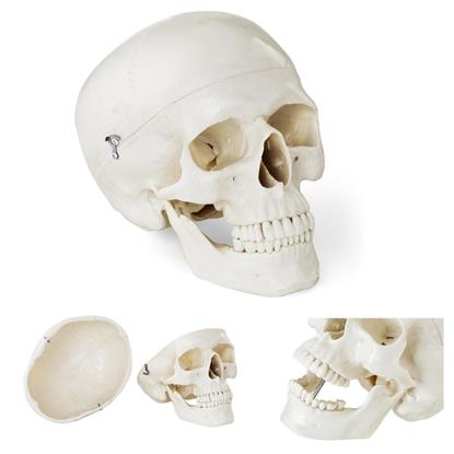 Model anatomiczny ludzkiej czaszki w skali 1:1 + Zęby 3 szt.