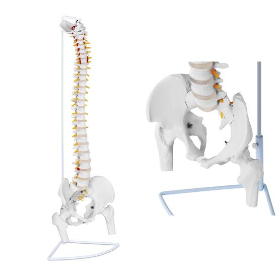 Model anatomiczny ludzkiego kręgosłupa z miednicą męską 86 cm