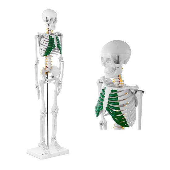 Model anatomiczny szkieletu człowieka 85 cm