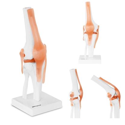 Model anatomiczny stawu kolanowego w skali 1:1