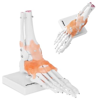 Model anatomiczny stawu skokowego z więzadłami w skali 1:1