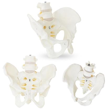 Model anatomiczny męskiej miednicy z kręgami lędźwiowymi w skali 1:1