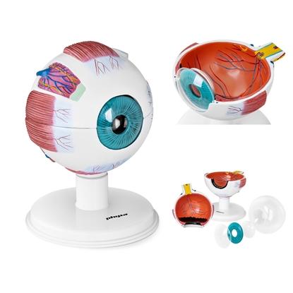 Model anatomiczny oka gałki ocznej człowieka 7 elementów