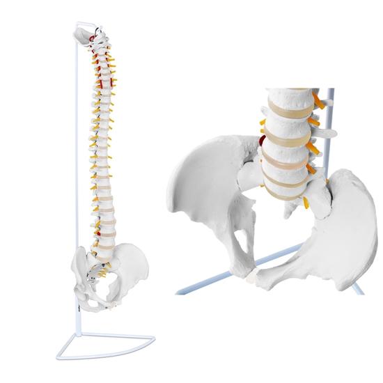 Model anatomiczny kręgosłupa człowieka z męską miednicą 76 cm