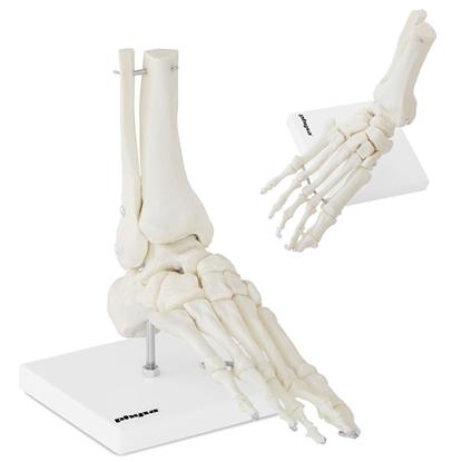 Model anatomiczny stawu skokowego w skali 1:1