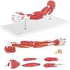 Model anatomiczny ramienia 3D w skali 1:1