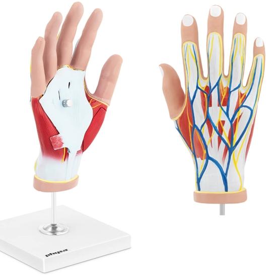Model anatomiczny 3D dłoni człowieka skala 1:1