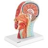 Model anatomiczny 3D głowy i szyi człowieka skala 1:1