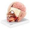 Model anatomiczny 3D głowy i mózgu człowieka skala 1:1