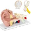 Model anatomiczny 3D ucha człowieka z wyjmowanymi elementami skala 3:1