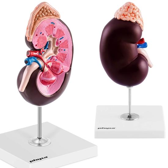 Model anatomiczny 3D nerki człowieka skala 1.5:1