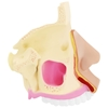 Model anatomiczny 3D jamy nosowej człowieka skala 1:1