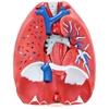 Model anatomiczny układu oddechowego krtani tchawicy serca płuc 7 elementów skala 1:1