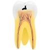 Model anatomiczny 3D zęba trzonowego