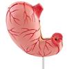 Model anatomiczny 3D żołądka człowieka