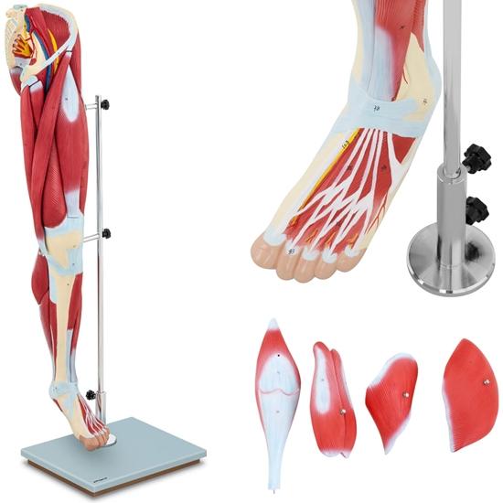 Model anatomiczny 3D mięśni nogi człowieka
